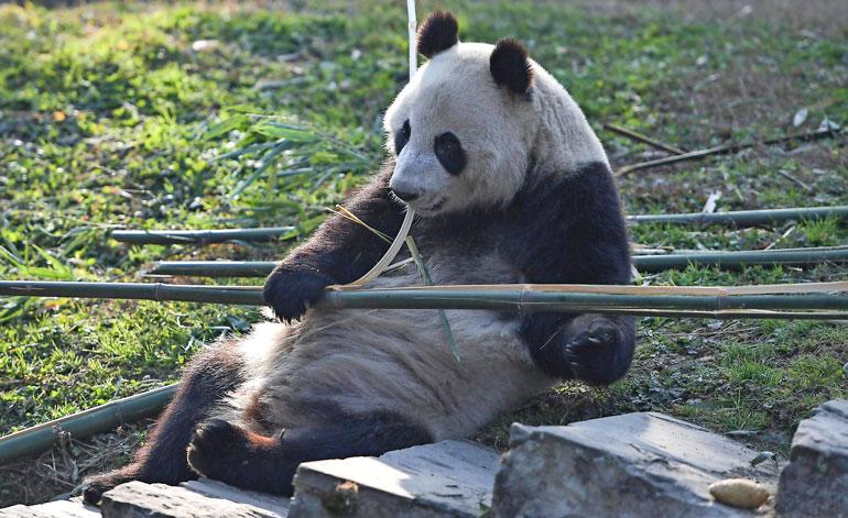 Pandat syövät vuorokaudessa vähintään 20 kiloa bambua, jota kuljetetaan rekka-autoilla Ähtäriin.