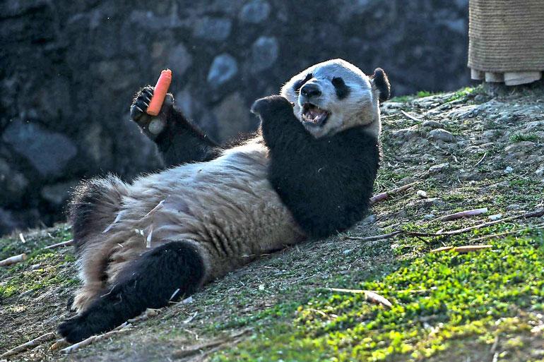 Pandat herkuttelevat myös porkkanalla.