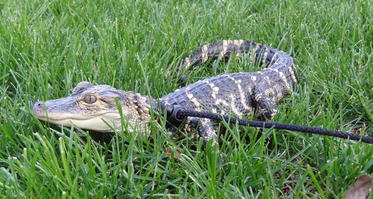 Alligaattori Lilly