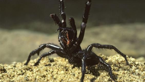 Atrax robustus -hämähäkinpurema voi olla tappava.