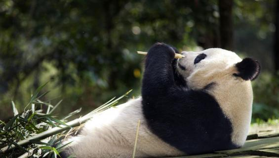 Tian Tian saattaa teeskennellä raskautensa.