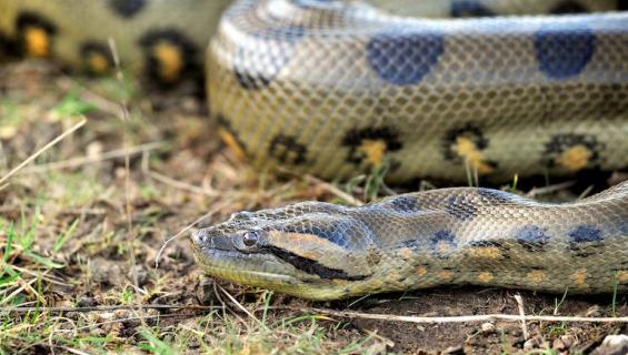 Työntekijä väitti käärmeen syöneen rahat.