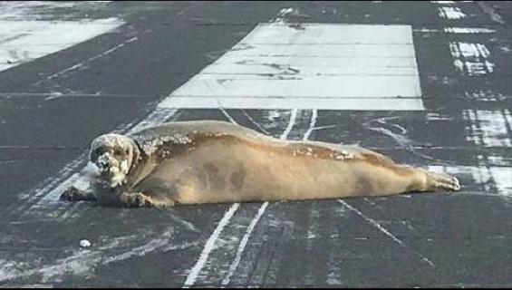 Kääk, hylje tukki kiitotien Alaskassa - katso viraaliksi mennyt hellyyttävä video!