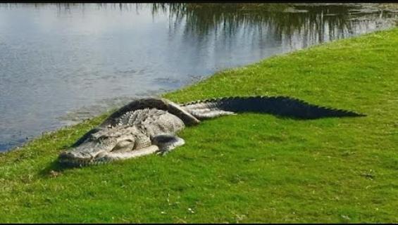 Alligaattori ja pyton ottivat yhteen golfkentällä: hurja kamppailu tallentui kameraan - video!