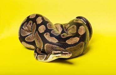 Käärme jäi jumiin omistajansa korvalävistykseen.