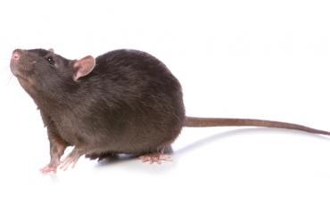 Maailman ensimmäinen rottakahvila aukeaa pian.