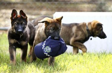 Kaikista koirista ei ole poliiseiksi.