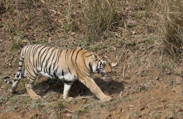 Tiikeri kulki vapaana Atlantassa.
